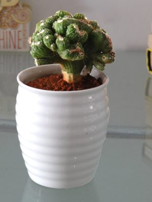Rolling Nature Cereus Monster Cactus Plant In White Ceramic Pot