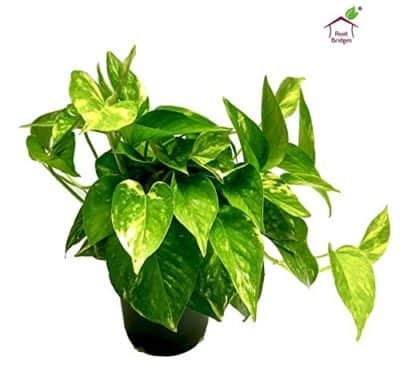 Root Bridges Indoor Green Money Plant