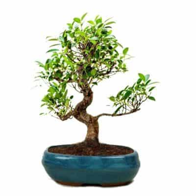 THE BONSAI PLANTS Beautiful Live S Shape 6 Year Old Ficus Bonsai Tree