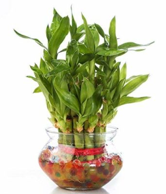Zaavic 2 Layer Lucky Bamboo Plant with Glass Bowl and Colored Jelly Balls